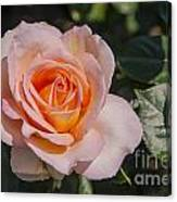 Parnell Pink Rose Canvas Print