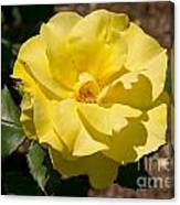 Parnell Yellow Rose Canvas Print