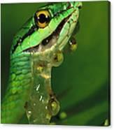 Parrot Snake Eating Frog Eggs Canvas Print