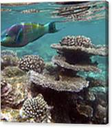 Parrotfish On The Barrier Reef At Canvas Print