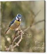 Parus Sitting On A Thin Branch Canvas Print