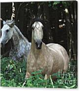 Paso Fino Mares Pay Attention Canvas Print