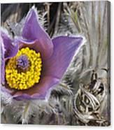 Pasque Flower Pulsatilla Halleri Canvas Print