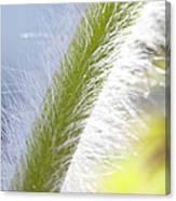 Pasqueflower Stem  Canvas Print