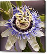 Passiflora Caerulea Canvas Print