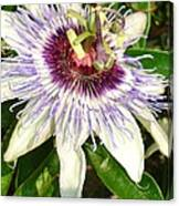 Passiflora Close Up With Garden Background  Canvas Print