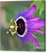 Passiflora Lavender Lady Canvas Print