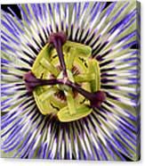 Passion Flower-0008 Canvas Print
