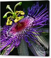 Passion Flower Canvas Print
