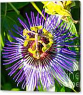 Passion Fruit Flower Canvas Print