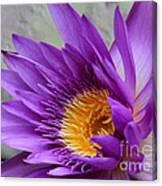 Passionate Purple Water Lily Canvas Print