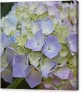 Pastel Blue Hydrangea Canvas Print