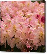 Pastel Coral Azaleas Refreshed By The Rains Canvas Print