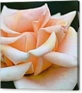 Pastel Peach Rose Canvas Print