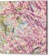 Pastel Pink Flowers Of Redbud Tree In Springtime  Canvas Print