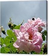 Pastel Pink Roses With Bee Canvas Print