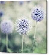 Pastel Purple Allium Bulbs Canvas Print