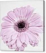 Pastel Purple Gerbera Canvas Print