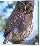 Patagonia Pygmy Owl Canvas Print