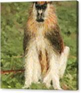 Patas Monkey Erythrocebus Patas  Canvas Print