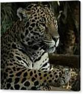 Paws Of A Jaguar Canvas Print