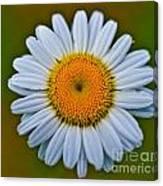 Peace Daisy Canvas Print