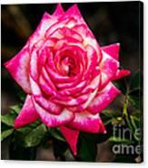 Peaceful Rose Canvas Print
