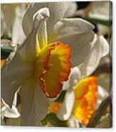 Peach And Cream Daffodil Canvas Print