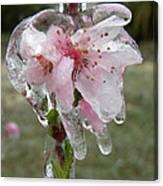 Peach Blossom In Ice Canvas Print