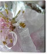 Peach Blossom In Ice Three Canvas Print