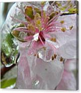 Peach Blossom In Ice Two Canvas Print