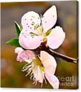 Peach Blossoms 1 Canvas Print