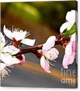 Peach Blossoms 2 Canvas Print
