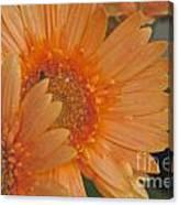 Peach Daisy Cluster Canvas Print