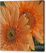Peach Daisy Canvas Print