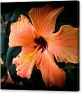 Peach Hibiscus Bloom Canvas Print