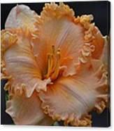 Peach Ruffled Lily Canvas Print