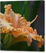 Peach Rufflette - Lily Canvas Print