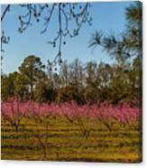 Peach Tree A Bloom Canvas Print