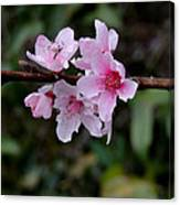 Peach Tree Blooms Miskitos Swoon Canvas Print