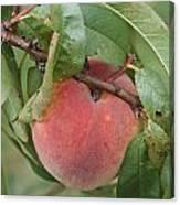 Peach For Harvest   # Canvas Print