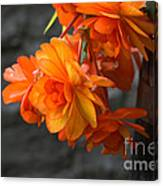 Peachy Begonias Canvas Print