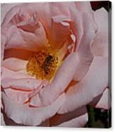 Peachy Petals And Bee Canvas Print