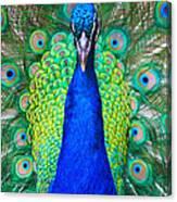 Peacock 1 Canvas Print