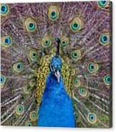 Peacock And Proud Plumage Canvas Print