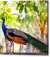 Peacock. Bird Of Paradise Canvas Print