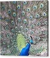 Peacock Bow Canvas Print