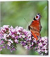 Peacock Butterfly  Inachis Io  On Buddleia Canvas Print