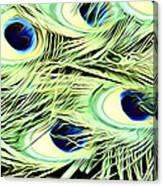 Peacock Colour Canvas Print