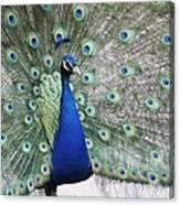 Peacock Fanning Canvas Print